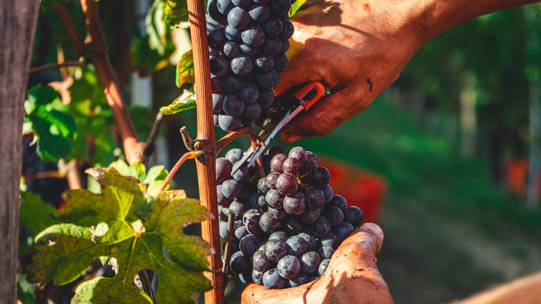 Vendemmia Italia prima per produzione | Doreca distribuzione vino